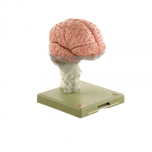 Model of Brain in 15 Parts