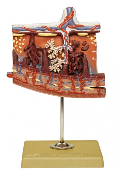 Model of the Placenta
