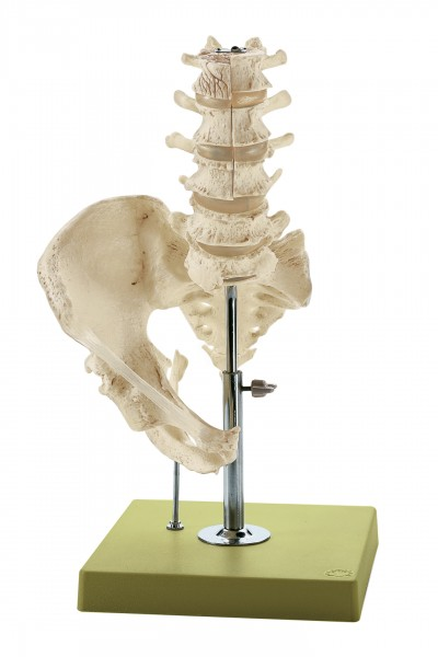 Model of the Lumbar Spinal Column - without Innervation