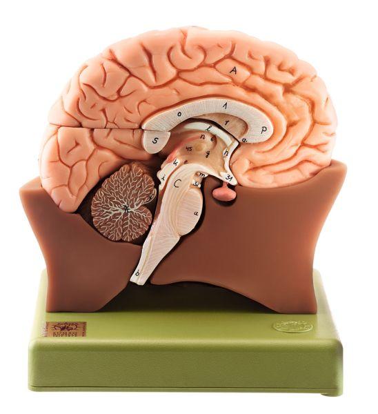 Gehirnhälfte