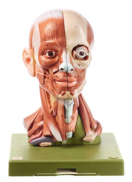 Muskelkopf