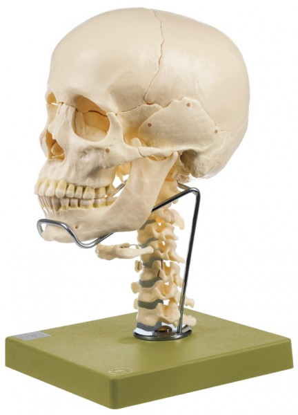 14-Part Model of the Skull with Cervical Vertebral Column and Hyoid Bone