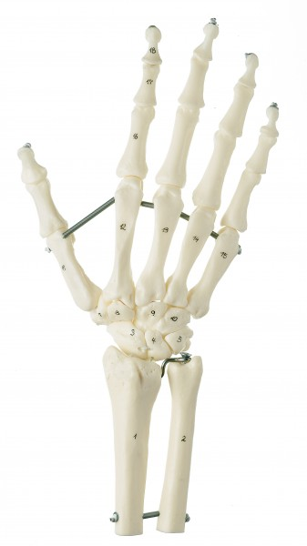 Hand Skeleton with Forearm Connection (Flexible Mounting)