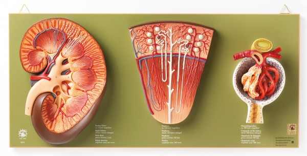 Kidney, Nephron and Glomerulus