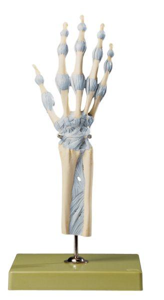 Hand- und Fingergelenke mit Bändern