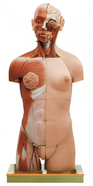 Muscular Torso with Head and Open Back
