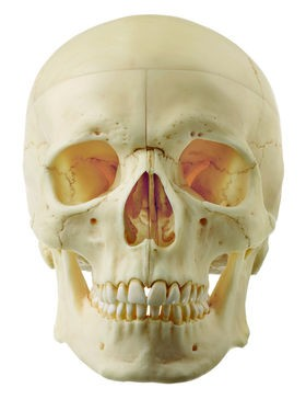 Artificial Human Skull