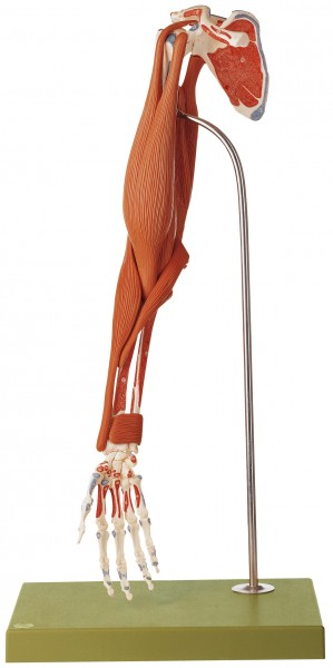 Demonstration Model of the Arm Muscles