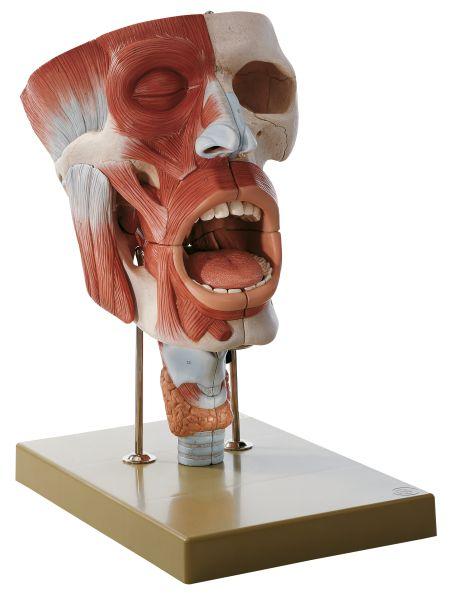 Nasen-, Mund- und Rachenhöhle mit Kehlkopf