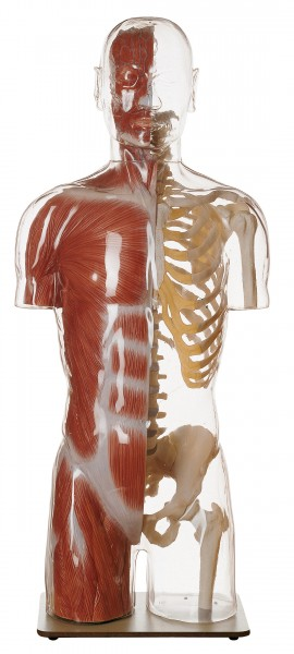 Transparent Muscle Torso Model with Head