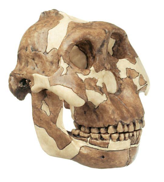 Reconstruction of the Skull of Paranthropus boisei