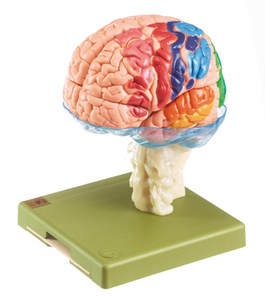 Model of Brain with Indicated Cytoarchitectural Areas