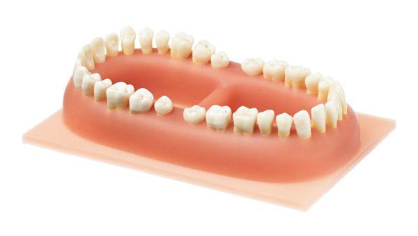 Set of Teeth of an Adult