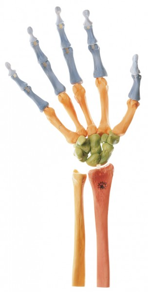 Hand Skeleton, Right (Movable Joint Mechanism and Coloured)