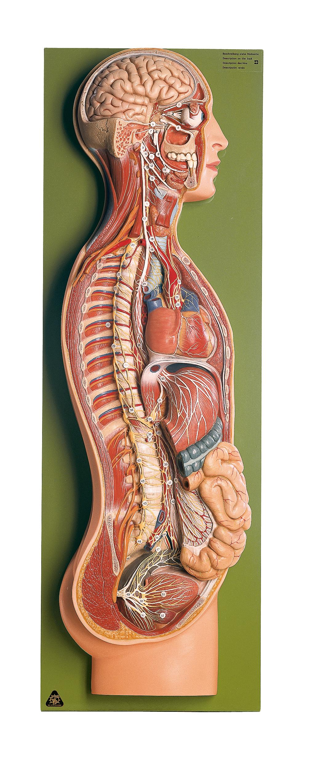 Leitungsbahnen | Allgemeine Anatomie | Anatomische SOMSO® Modelle ...