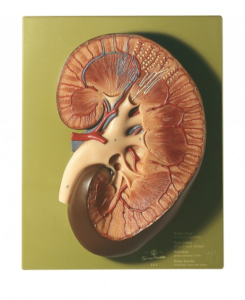 Right Kidney