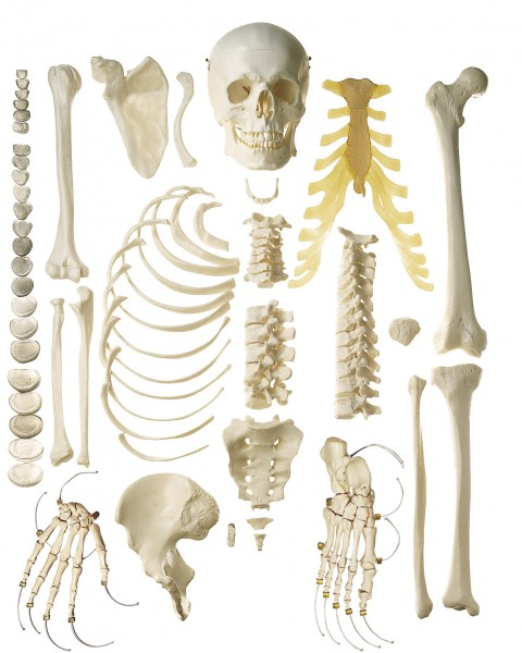 Unmounted Human Half-Skeleton, male