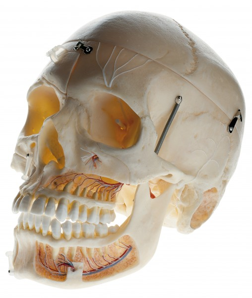 Artificial Demonstration Skull of an Adult