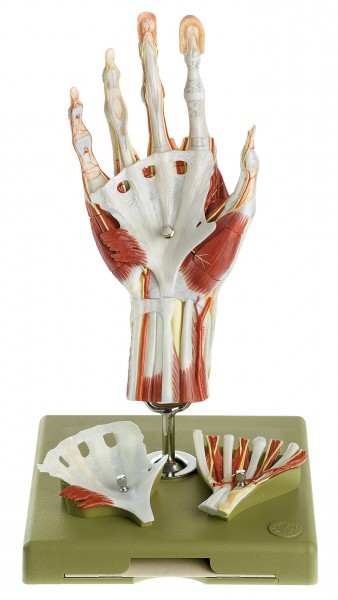 Surgical Hand Model in a didactic Colour-Scheme