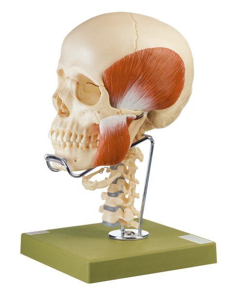 18teiliges Schädelmodell mit Kaumuskulatur, Halswirbelsäule und Zungenbein