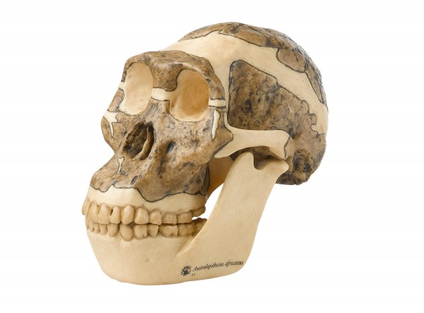 Reconstruction of a Skull of Australopithecus africanus