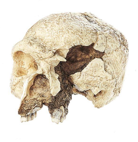 The Steinheim Skull Homo heidelbergensis