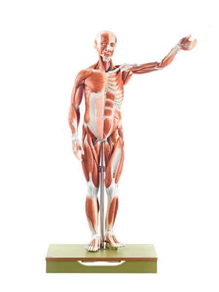 Männliche Muskelfigur