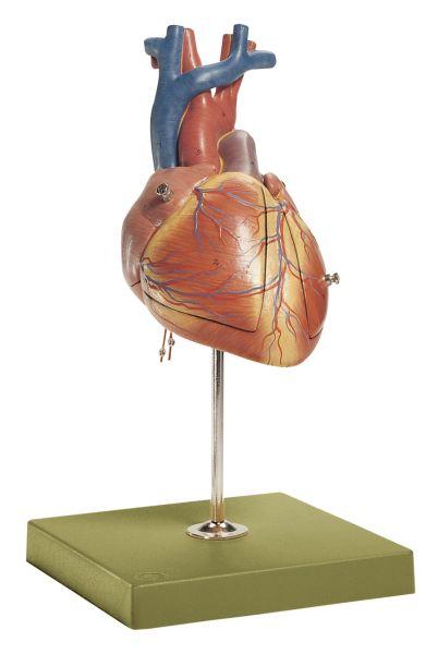 Fetales Herz