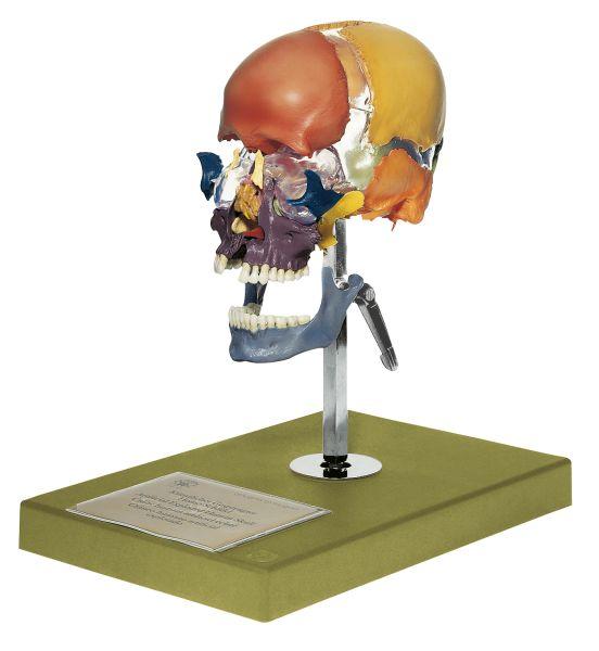 Artificial Bauchene Skull of an Adult