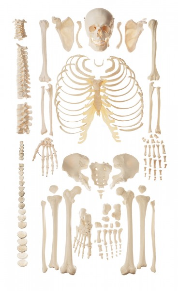 Unmounted Female Human Skeleton