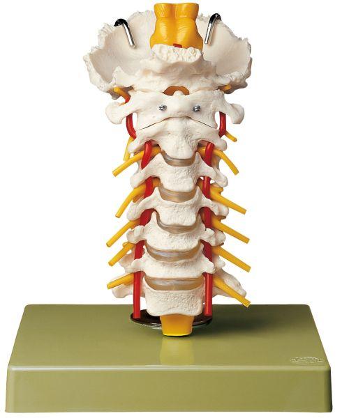 Cervical Vertebral Column