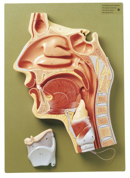 Medianschnitt der Nasen-, Mund- und Rachenhöhle
