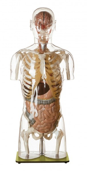 Transparent Torso Model with Head