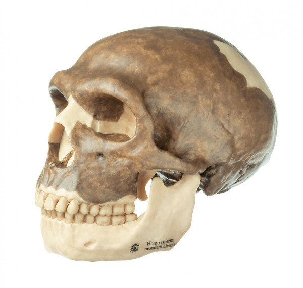 Reconstruction of the Skull of Homo neanderthalensis