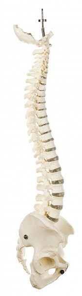 Vertebral Column with Pelvis