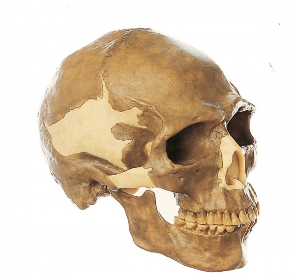 Reconstruction of the Skull of Homo sapiens