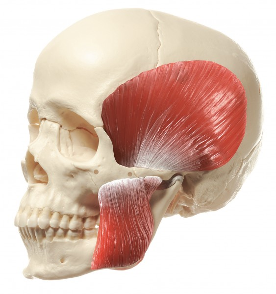 14-Part Model of the Skull with Muscles of Mastication