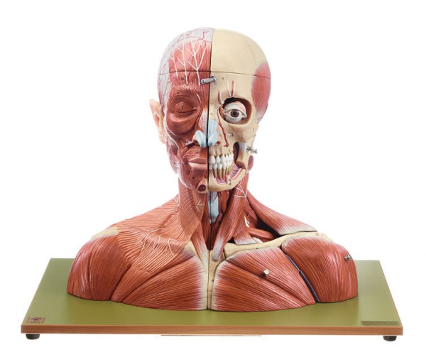 Head and Neck | Muscles | Head / Neck | Anatomical SOMSO® models ...