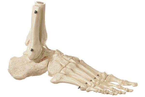 Skeleton of the Foot (Rigid)