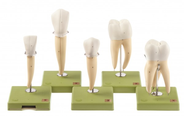 Five Models of Teeth