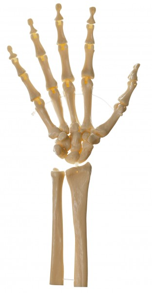 Skeleton of the Hand (Movable Joints)