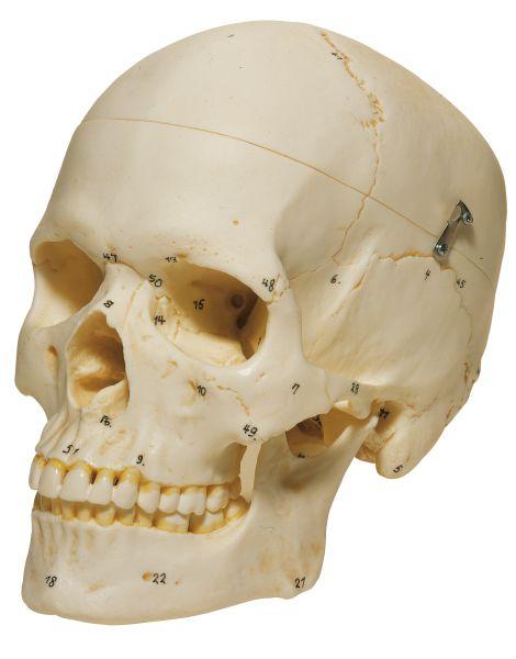 Artificial Human Skull, Female