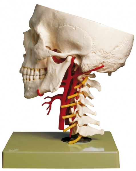 Artificial Base of Skull with Arteries