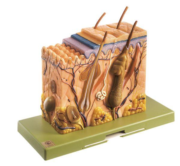 Hautblockmodell