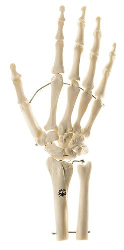 Skeleton of Hand with Base of Forearm (Mounted on wire)