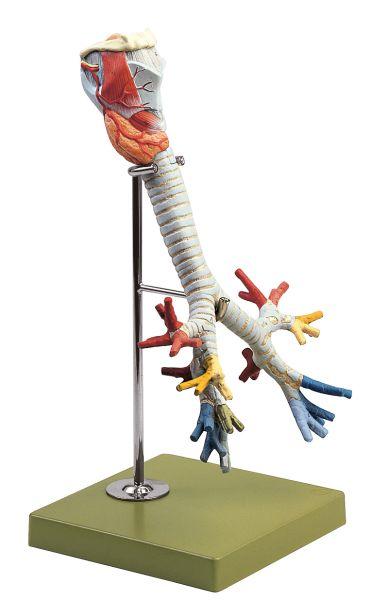 Larynx with Trachea