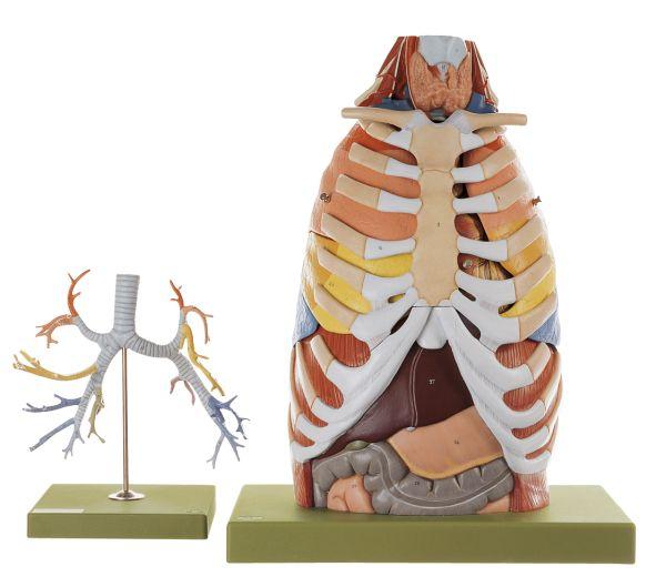 Anatomie des Brustkorbes