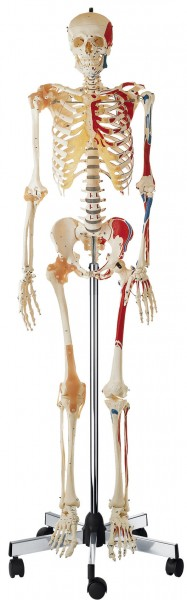 Artificial Human Skeleton