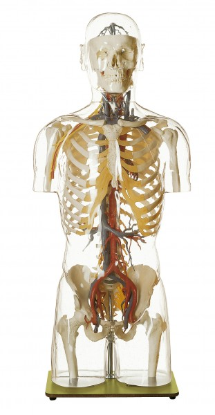 Transparent Torso Model with Blood Vessels and Head