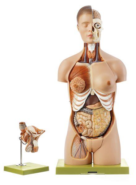 Torsomodell mit Kopf und auswechselbaren Geschlechtsorganen